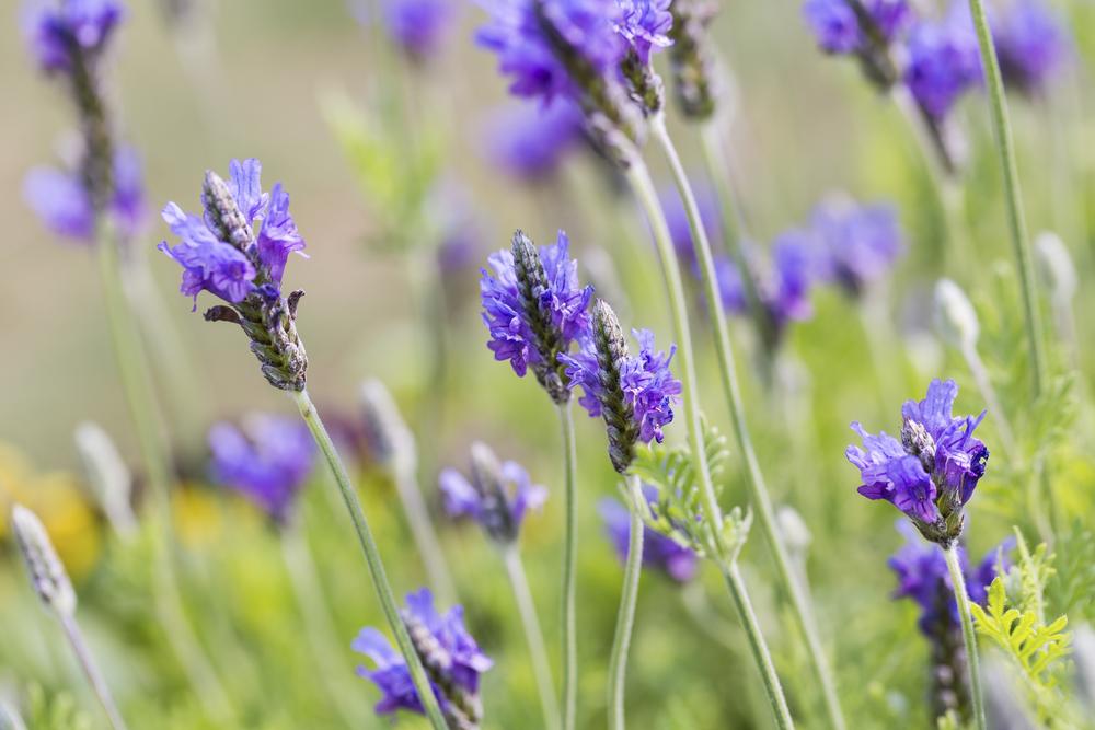 Egyptian Lavender (Lavandula multifida)