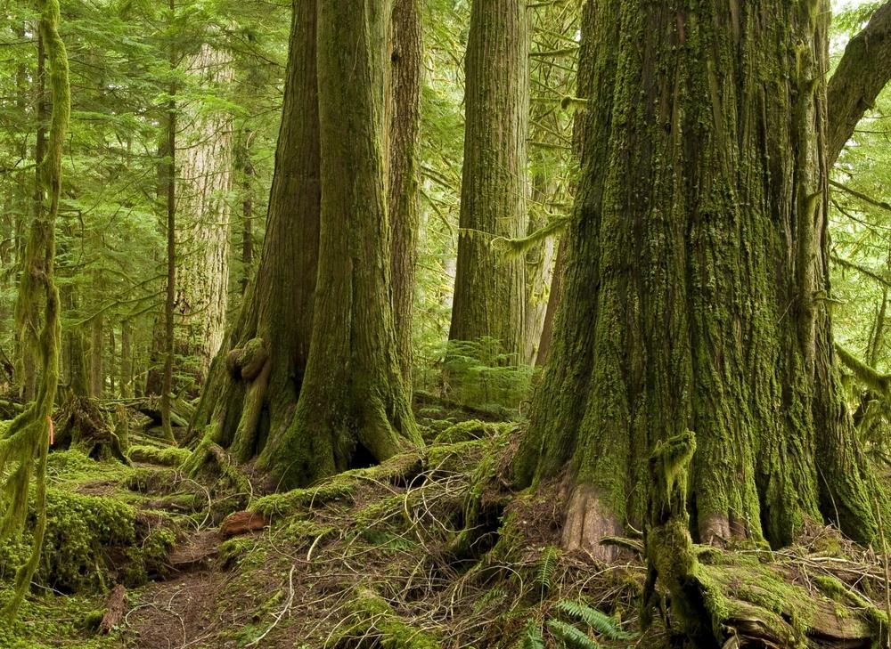 Arborvitae Types - Western Red Cedar