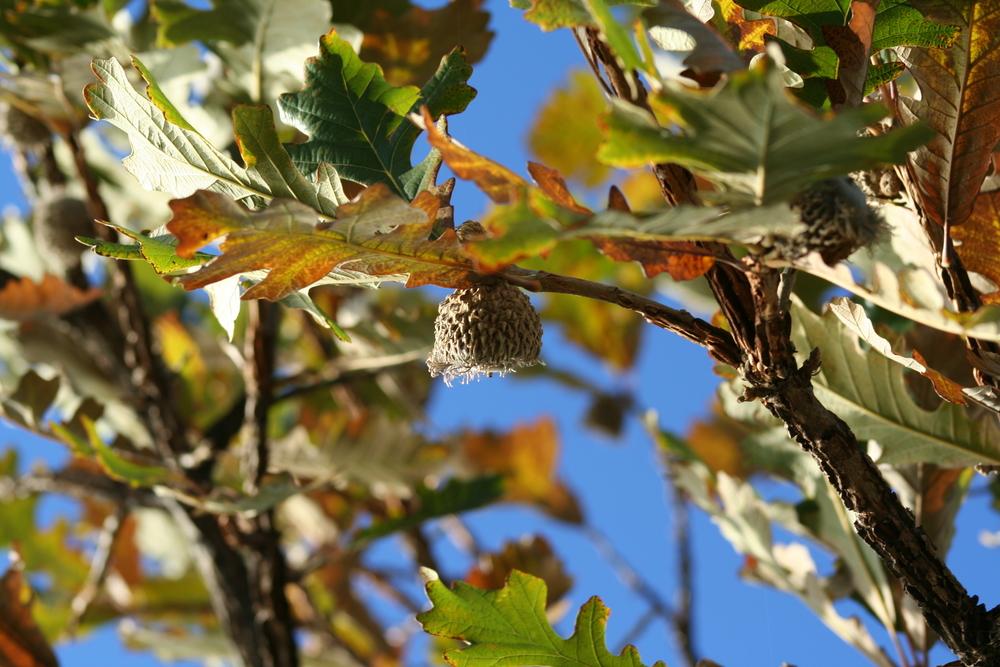 Cherrybark Oak (Quercus pagoda)