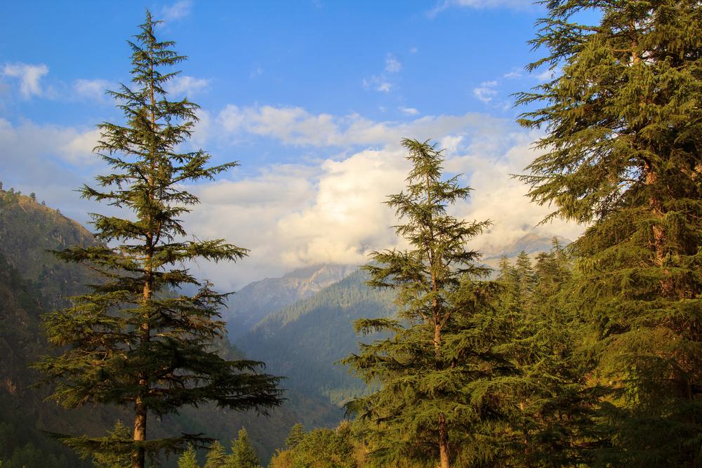 Deodar cedar (aka Himalayan Cedar)