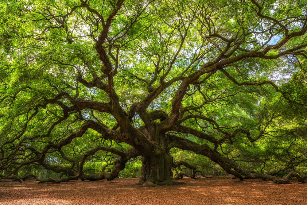 20+ Types of Oak Tree (Different Species of Oak Trees)