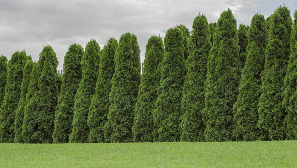 Arborvitae Types