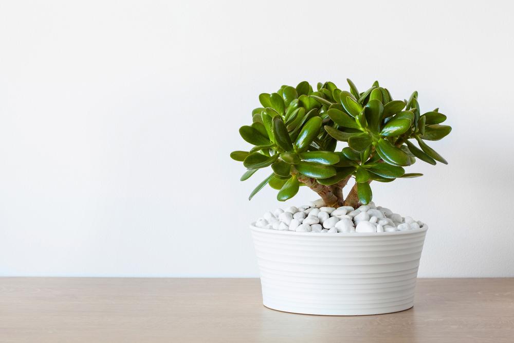 Jade Plants