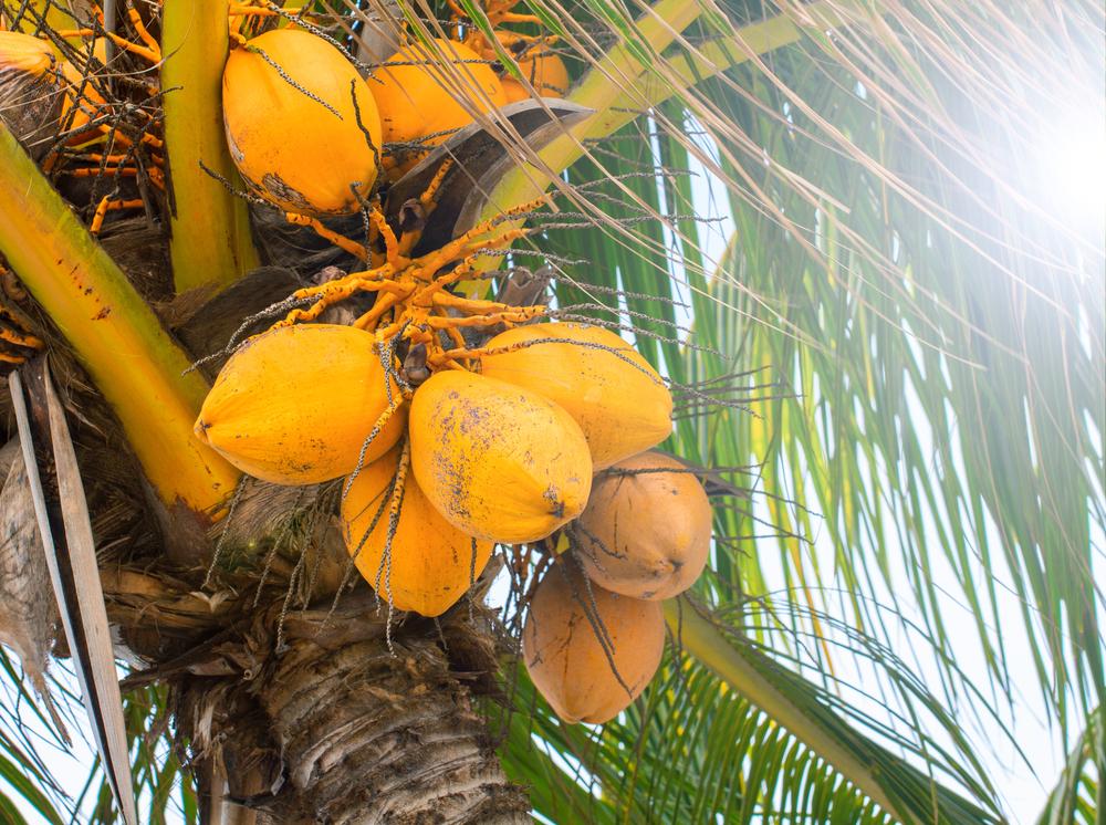 Golden Malayan Dwarf Coconut