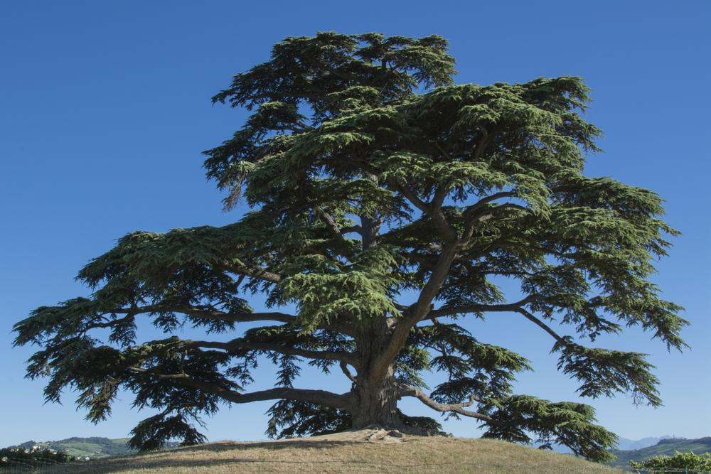 types of cedar trees