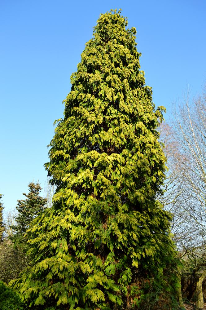 Eastern Arborvitae - Thuja occidentalis