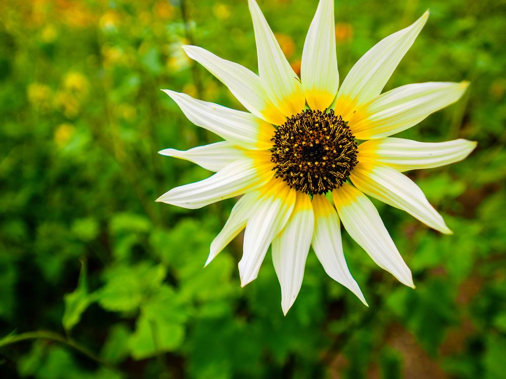 Italian White - Types of Sunflowers