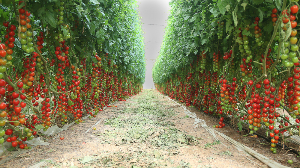 How To Start Growing Tomatoes at Home Based on HEINZ Tomato Experts' Advice